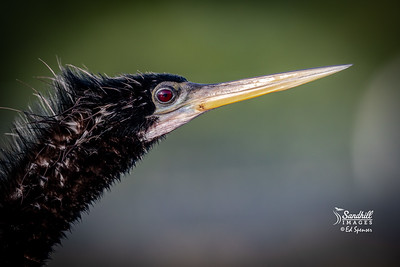Anhinga male portrait