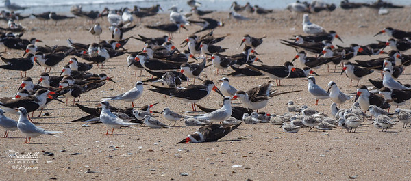 My first encounter with black skimmers a few years ago.