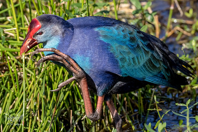 Gray headed swamphen showing those huge feet