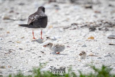 Black skimmer chicks at rookery