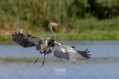 Tricolored heron nest building