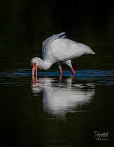 White ibis and reflection