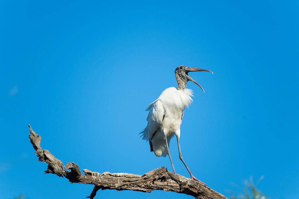 Wood stork;