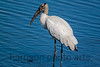 Woodstork<br /> Huntington Beach State Park, SC
