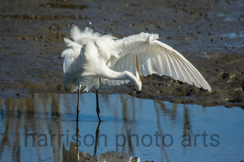 Great Egret<br /> Huntington Beach State Park, SC
