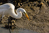 Great Egret with fish<br /> Huntington Beach State Park, SC