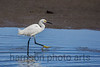 Snowy Egret<br /> Chincoteague National Wildlfe Refuge, VA