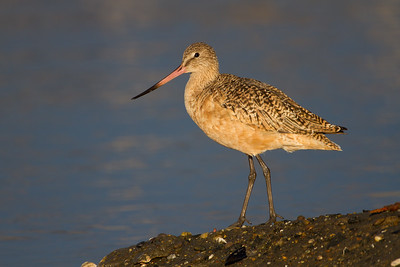 Godwit, Curlew, and Whimbrel (Scolopacidae)