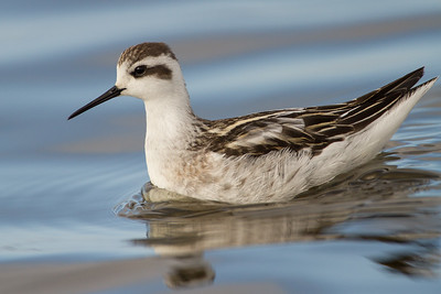 Phalaropes (Scolopacidae)