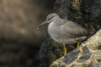 Surfbird, Turnstones, and Tattler (Scolopacidae)