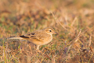 Oriental (Paddyfield) Pipit - Ameenpur Lake, Hyderabad, India