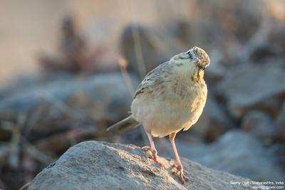 Tawny Pipit - Maharashtra, India