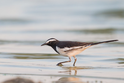 White-browed Wagtail - Ameenpur Lake, Hyderabad, India