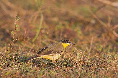 Western Yellow Wagtail - Ameenpur Lake, Hyderabad, India