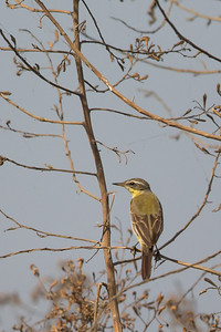 Yellow Wagtail - Record - Near Koradi, Nagpur, India