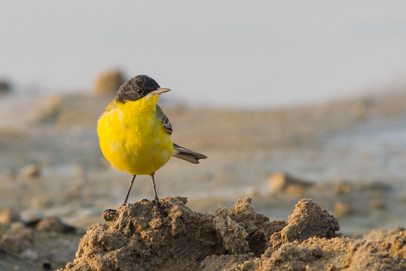 Western Yellow Wagtail - Ameenpur Lake, Hyderabad, India