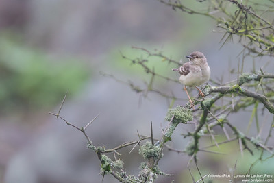 Yellowish Pipit - Lomas de Lachay, Peru