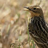 Red-throated pipit פיפיון אדום גרון