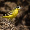 Yellow wagtail נחליאלי צהוב
