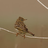 meadow pipit פיפיון שדות