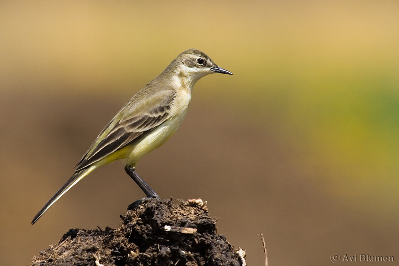 Yellow wagtail female נחליאלי צהוב נקבה