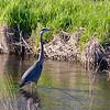 Great Blue Heron in Coweesett Brook
