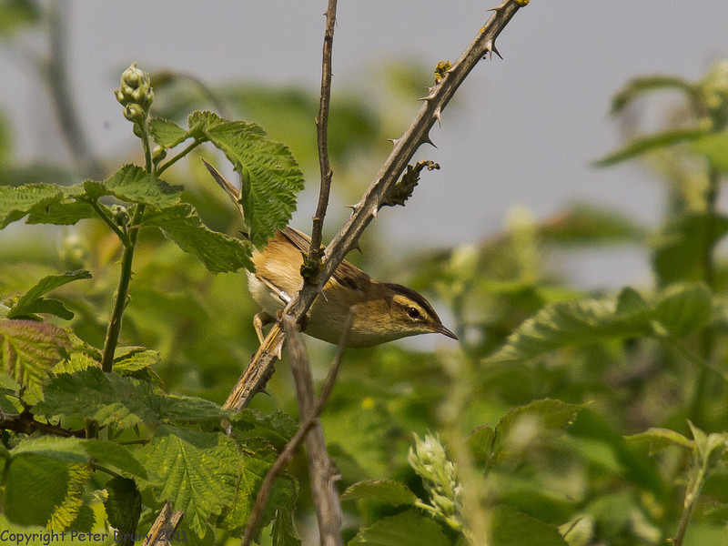 29 April 2011. Sedge Warbler at Milton Common. Copyright Peter Drury 2011