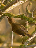 Chiffchaff (Phylloscopus collybita). Copyright 2009 Peter Drury