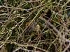Goldcrest (Regulus regulus). Copyright 2009 Peter Drury