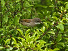 Whitethroat (Sylvia Communis). Copyright 2009 Peter Drury<br /> Portsdown Hill, Portchester
