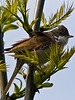 Whitethroat (Sylvia Communis). Copyright 2009 Peter Drury<br /> Southmoor, Langstone Harbour