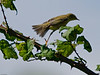 Willow Warbler (Phylloscopus trachilus). Copyright 2009 Peter Drury<br /> Southmoor, Langstone Harbour