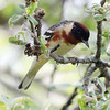 bay breasted warbler