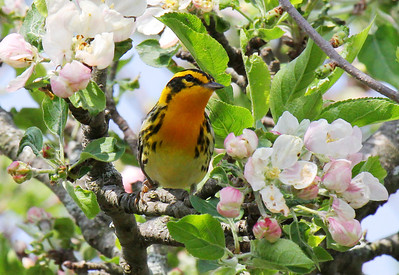 Warblers and kinglets