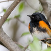 American Redstart @ Magee Marsh WA, May 2016