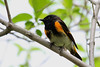 American Redstart @ Magee Marsh - May 2008