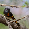 American Redstart (Warbler) @ Magee Marsh - May 2014
