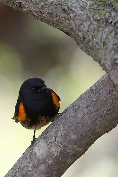 American Redstart Warbler @ Magee Marsh Wildlife Area - May 2009