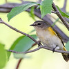 American Redstart Warbler - Presque Isle County, MI, May 2016