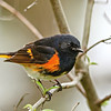 American Redstart Warbler @ Magee Marsh SP, OH - May 2016