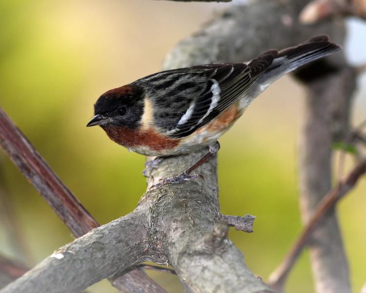 Bay-breasted Warbler @ Magee Marsh WA, May 2011