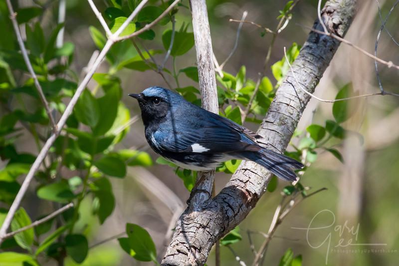 Black Throated Blue Warbler