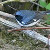 Black-throated Blue Warbler @ Magee Marsh - May 2007