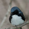 Black-throated Blue Warbler @ Magee Marsh - May 2008
