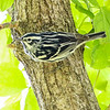 Black & White Warbler @ Magee Marsh, May 2017