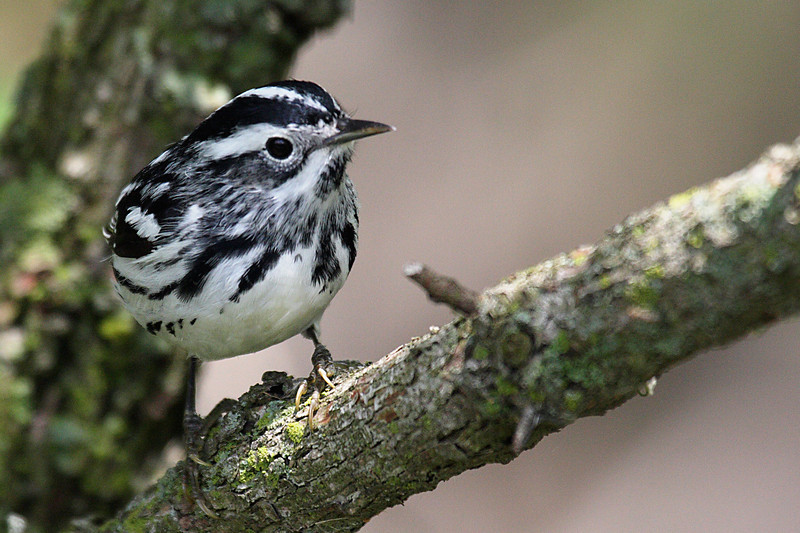 Black & White Warbler @ Magee Marsh - May 2008