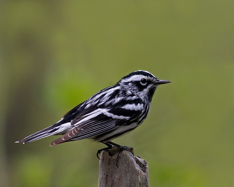 Black and White Warbler @ Shawnee state park - May 2011