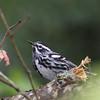 Black & White Warbler @ Shawnee State Park