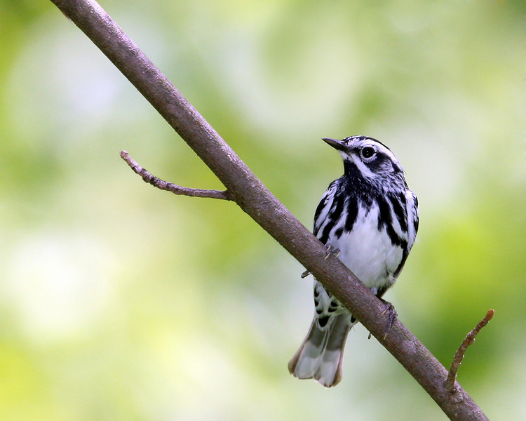 Black & White Warbler @ Shawnee State Forest. OH - May 2010
