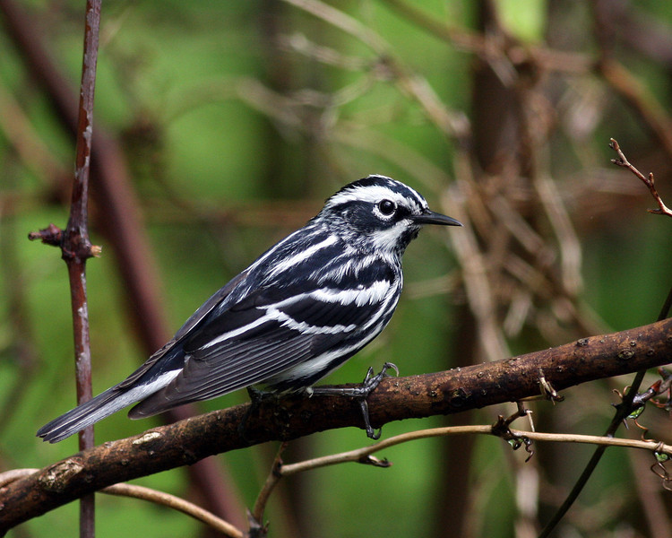 Black-and-White Warbler @ Shawnee State Forest - April 2012